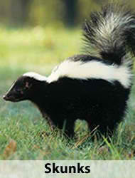 skunkcontrol