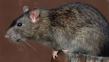 rodents - gt pest control