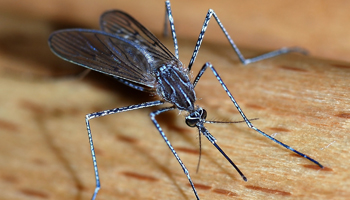 mosquito Diseases Caused by Bug Bites
