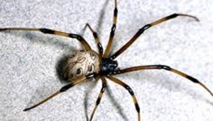 Controlling Spiders Inside the Home